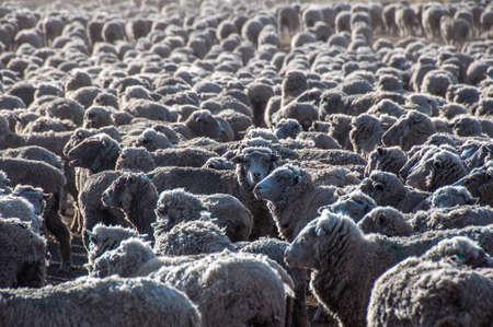 fuego: That is a lot of sheeps, Tierra del Fuego, Argentina.