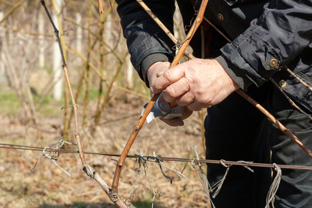 Gardener with a sharp pruner making a grape pruning - cutting branches at spring Stockfoto