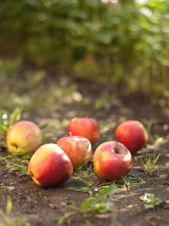windfalls: Red ripe apples lying on the ground