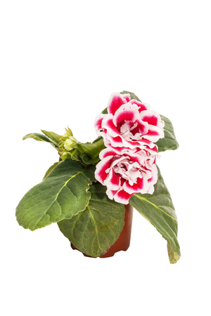 Flowers of red gloxinia (Sinningia) in a brown pot isolated on white background close-up Stock Photo