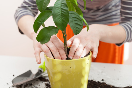 Womans hands transplanting plant a into a new pot. Home gardening relocating house plant