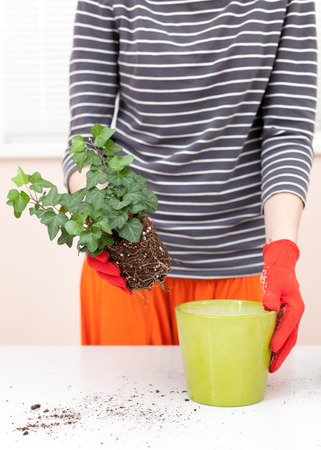 Woman's hands transplanting plant a into a new pot. Home gardening relocating house plant Reklamní fotografie