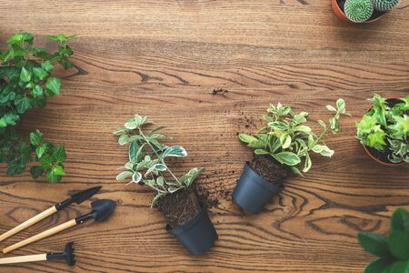 Top view of small green plants in pots and set gardening tools lying on wooden texture table with copy space Stock Photo
