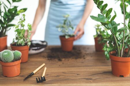 Selective focus of young woman in blue apron transplanting flowers. Zamiokulkas, cactus, cacti, dracaena, dieffenbachia and gardening tools on front backgroung