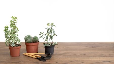 Planst in pots with set of gardening tools on wooden table with copy space
