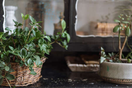 Close up shot of green plant on black antique cabinet shelf with blurred mirror in bohemian style room. Decorating home with potted greenery.