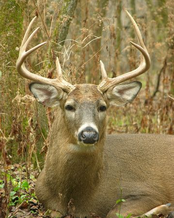 whitetail buck: Close-up of a whitetail deer.