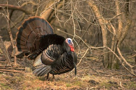 Strutting Wild turkey.
