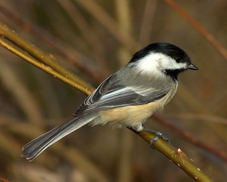 perched: Black-capped chickadee perched on a branch.