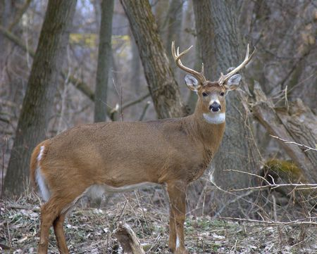 whitetail deer: Whitetail deer buck. Stock Photo