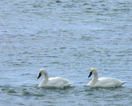 Tundra swans on the Niagara River in late February. Stock Photo - 771437