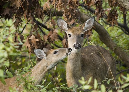 Whitetail deer doe with yearling.