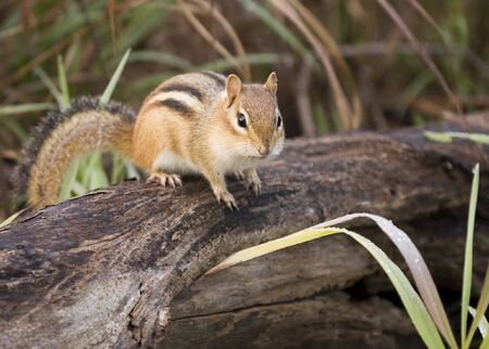 A chipmunk perched on a log. photo