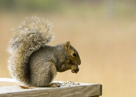 squirrel eating bird seed photo