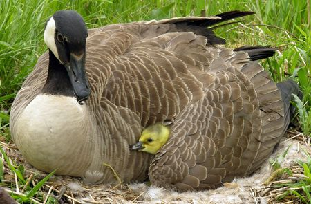Canadian gosling under its mothers wing. photo
