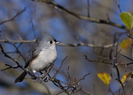Titmouse perched on a branch. photo