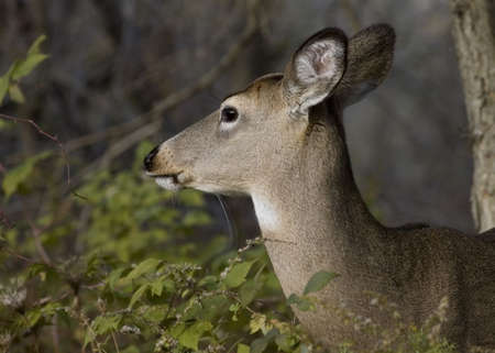 Head-shot of  a whitetail deer doe. Stock Photo - 2028250