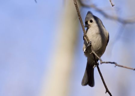 titmouse: Titmouse perched on a branch.