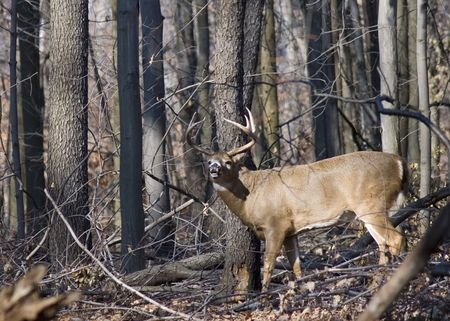 whitetail buck: Whitetail deer buck in the woods. Stock Photo