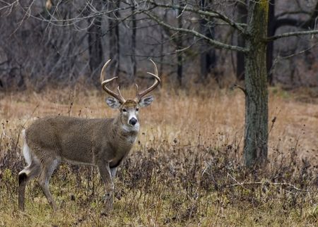 Whitetail deer buck in a field.