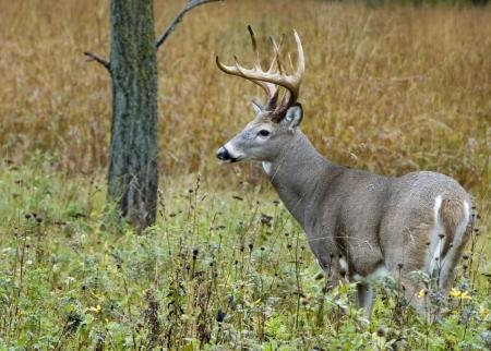 Whitetail deer buck in a field.