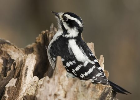 downy: Downy woodpecker perched on a tree. Stock Photo