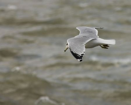 A ring-billed seagull in flight over open water.