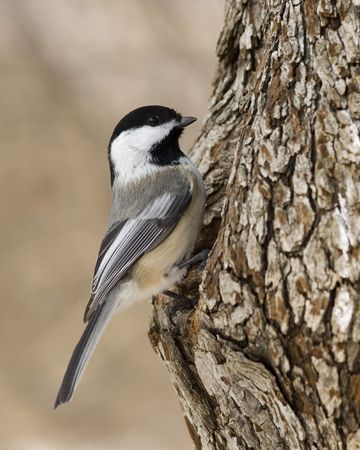 Black-capped chickadee perched on a tree trunk.