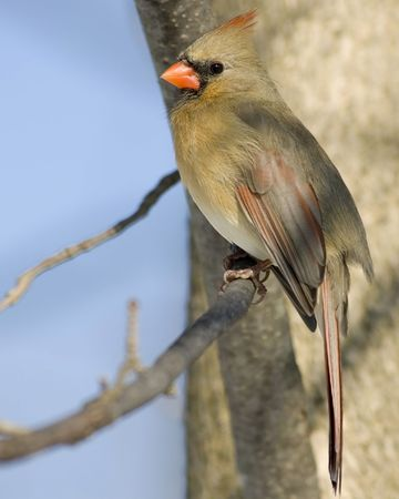 Female Cardinal perched on a branch. photo