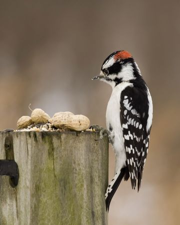 downy: Downy woodpecker perched on a post.
