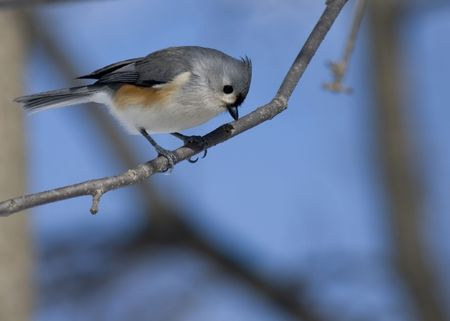 A Tufted Titmouse perched on a branch. photo