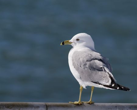 A ringed-billed seagull perched on a metal railing. Banco de Imagens