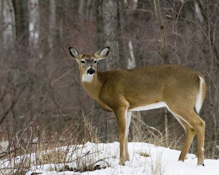 A whitetail deer buck standing at the woods edge in late winter without antlers. photo