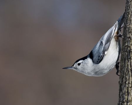 carolinensis: A White-breasted Nuthatch perched on a tree trunk.