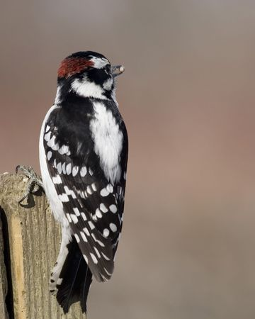 downy: Downy woodpecker perched on a wooden post. Stock Photo