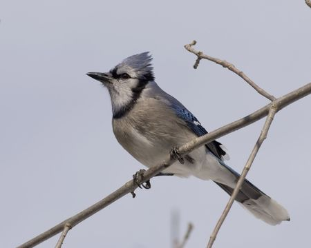 noises: Blue jay perched on a branch.