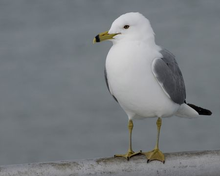 Ring-billed seagull perched on a metal railing. Banco de Imagens