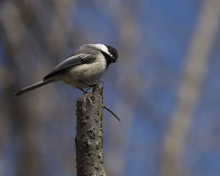 A Black-capped chickadee perched on a branch. 免版税图像