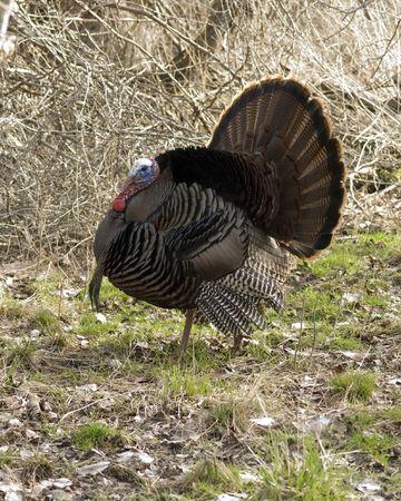 strut: Wild male turkey strutting in the spring.