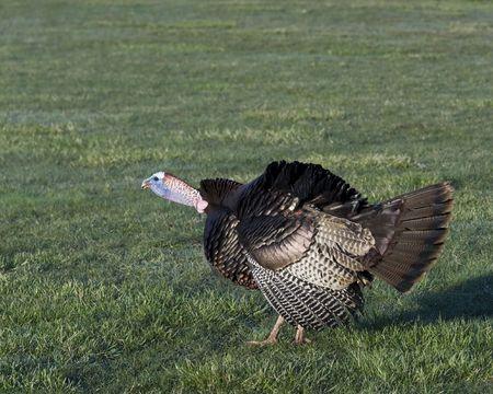 Wild male turkey strutting in the spring. photo