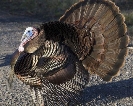 tom: Wild male turkey strutting in the spring.