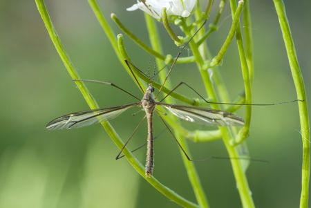Crane fly perched on a plant.