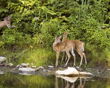 Two whitetail deer fawns and one young buck standing at a streams edge. photo