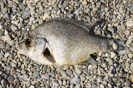 Fish along a beach decaying in the summer. Stock Photo - 3379826