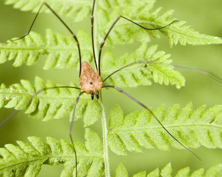 longlegs: A daddy longlegs spider perched on a fern.