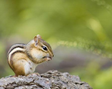 Chipmunk: A chipmunk on a log eating a nut.