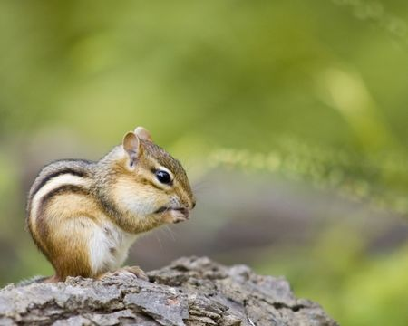 A chipmunk on a log eating a nut.