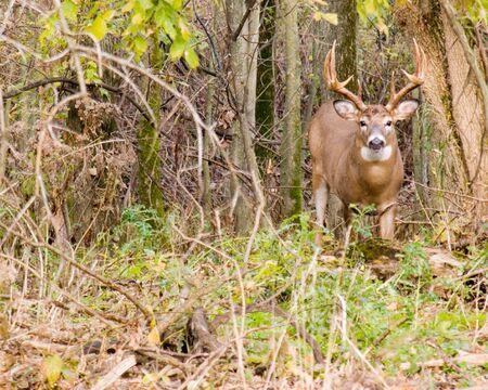 Whitetail deer buck in the woods during the rutting season.