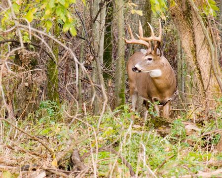 rutting: Whitetail deer buck in the woods during the rutting season.