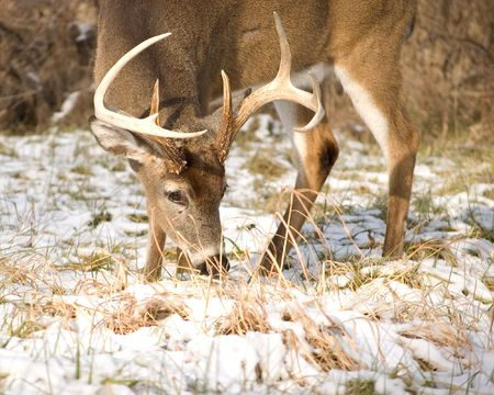 A whitetail deer buck browsing in the snow. Stock Photo